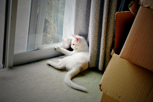 A cat in the house④の写真素材 [FYI00198365]