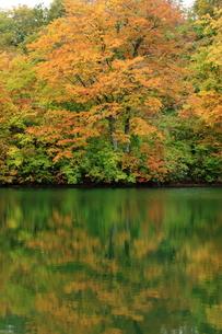 雨飾高原・鎌池の紅葉の写真素材 [FYI00198415]
