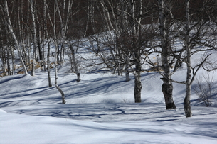 雪の白樺林の写真素材 [FYI00198424]