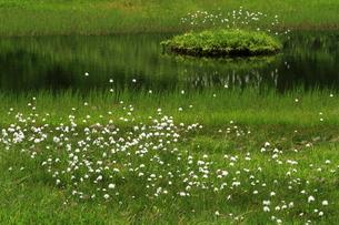 栂池自然園・浮島湿原のワタスゲの写真素材 [FYI00198476]