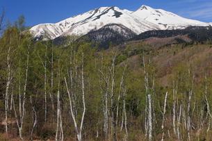 春の乗鞍高原 残雪の乗鞍岳と新緑の白樺林の写真素材 [FYI00198489]