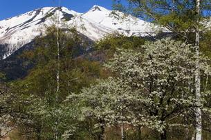 乗鞍高原一の瀬園地 残雪の乗鞍岳とスモモの花の写真素材 [FYI00198505]