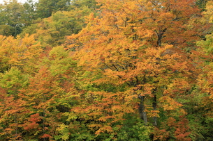 紅葉のぶなの森の写真素材 [FYI00198561]