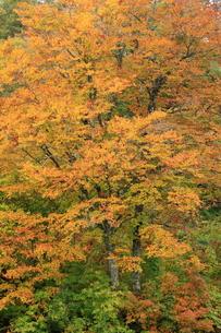 紅葉のぶなの森の写真素材 [FYI00198572]