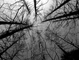 春の空へ梢を伸ばすメタセコイヤの写真素材 [FYI00198596]