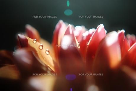 光を浴びるダリアの写真素材 [FYI00198904]