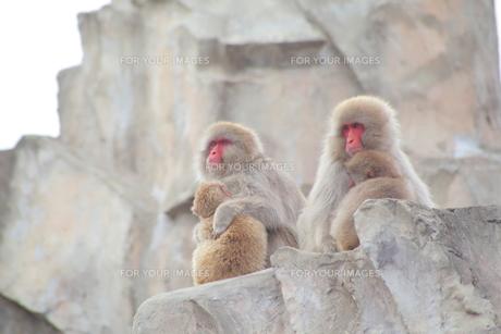毛繕いをする猿の親子の写真素材 [FYI00198907]