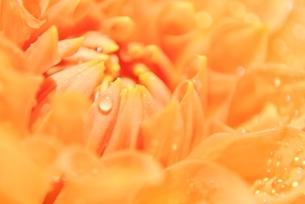 雫を抱えるダリアの写真素材 [FYI00198915]