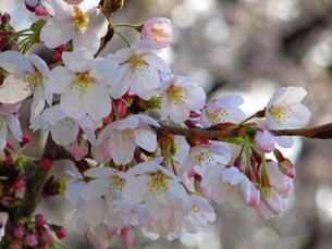 桜咲きはじめの写真素材 [FYI00198949]