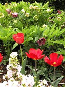 チューリップと花壇の写真素材 [FYI00198951]