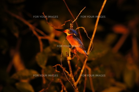 ボルネオ島のカワセミの写真素材 [FYI00198953]