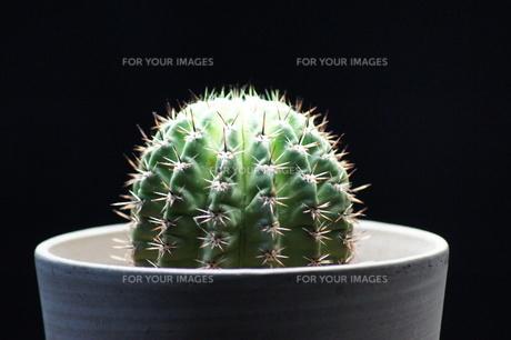 サボテンの写真素材 [FYI00198962]