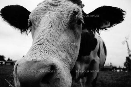 牛を正面からショットの写真素材 [FYI00198964]