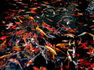 錦鯉の池の素材 [FYI00198974]