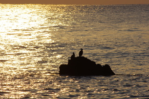 朝焼けに輝く海と岩で休む鳥の写真素材 [FYI00199783]