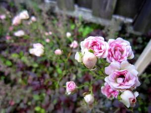 庭の薄ピンクの薔薇の写真素材 [FYI00199889]