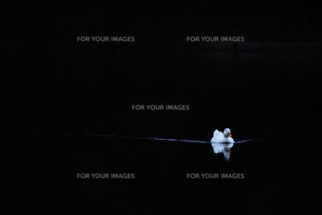 向かってくるアヒルの写真素材 [FYI00199907]