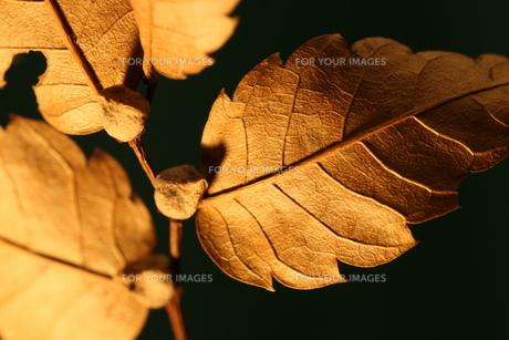 枯葉の写真素材 [FYI00199980]