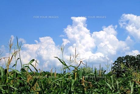 とうもろこし畑と入道雲の写真素材 [FYI00200033]