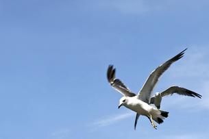 空飛ぶウミネコの写真素材 [FYI00200035]