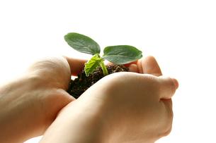 手の中の小さな芽の写真素材 [FYI00200059]