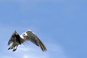 羽ばたくウミネコの写真素材 [FYI00200060]