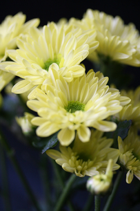 スプレー菊の写真素材 [FYI00200094]
