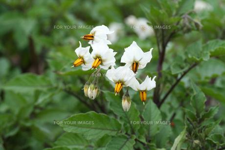 シャドークイーン(紫ジャガイモ)の花の写真素材 [FYI00200116]