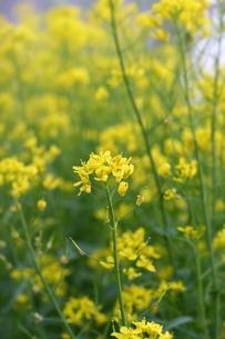 ミズナの花の写真素材 [FYI00200125]