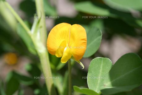 落花生の花の写真素材 [FYI00200226]