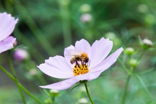 蜜蜂とコスモスの写真素材 [FYI00200260]
