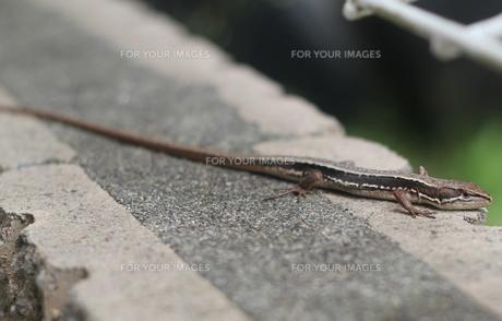 カナヘビ(トカゲ)の写真素材 [FYI00200265]