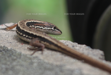 カナヘビ(トカゲ)アップの写真素材 [FYI00200275]