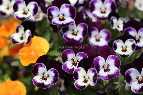ビオラ(紫)の写真素材 [FYI00200291]