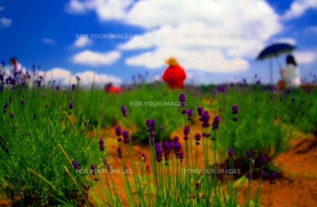 初夏の九州 ラベンダーの写真素材 [FYI00200306]