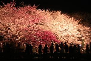 桜色に魅せられての写真素材 [FYI00200309]