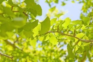 秋の気配 いちょうの葉の写真素材 [FYI00200343]