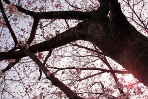 桜の木の下での写真素材 [FYI00200345]