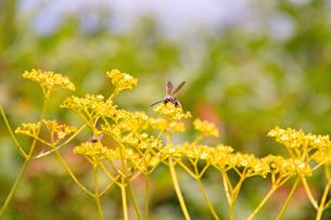 女郎花(オミナエシ)とミツバチの写真素材 [FYI00200362]