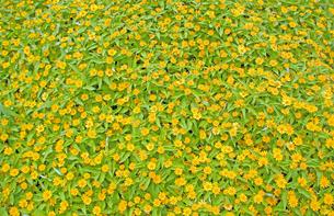 オキザリスの花々の写真素材 [FYI00200366]