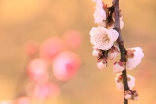 咲き誇る梅の写真素材 [FYI00200372]