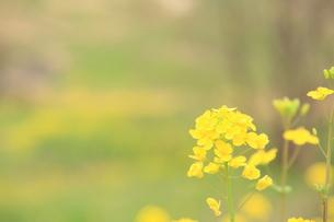 菜の花の写真素材 [FYI00200373]
