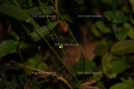 ホタルの光の写真素材 [FYI00200490]
