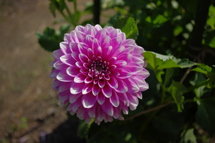 ピンクのダリアの写真素材 [FYI00200502]
