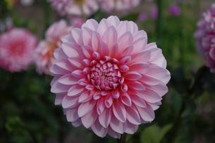 シロとピンクの色彩ダリアの写真素材 [FYI00200503]