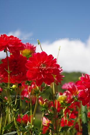 赤いダリアの写真素材 [FYI00200504]