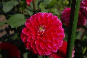 かわいい赤いダリアの写真素材 [FYI00200517]