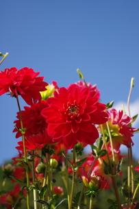 赤いダリアの写真素材 [FYI00200518]
