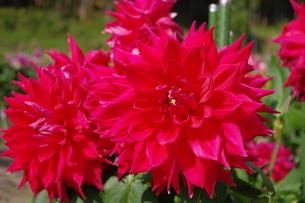 赤いダリアの写真素材 [FYI00200522]