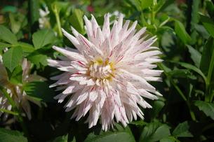 白いダリアのきれいな色彩の写真素材 [FYI00200525]